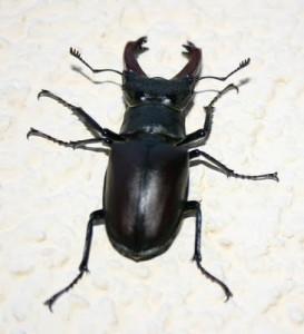 548px-Lucanus-cervus-maskulinum