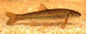 peixes_boga